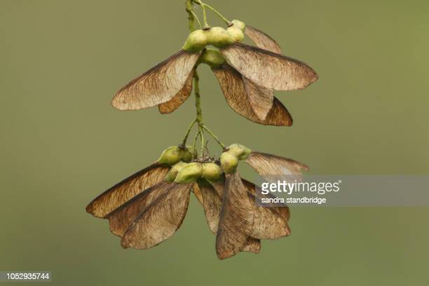 maple seeds growing on a maple tree in the uk. - arce fotografías e imágenes de stock