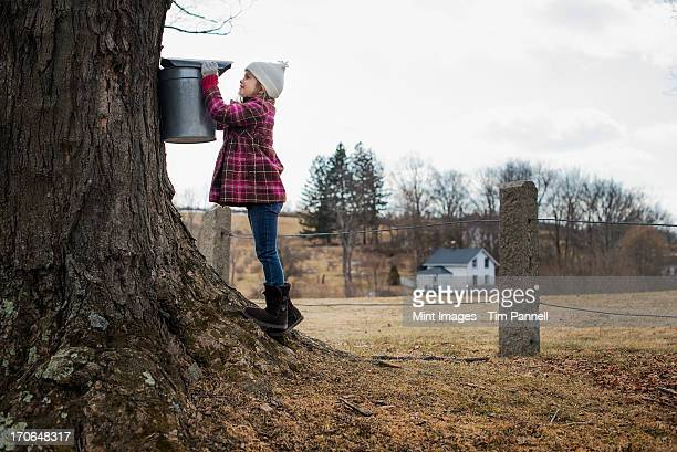 a maple syrup farm. a young girl holding a bucket which is tapping the sap from the tree. - maple tree stock pictures, royalty-free photos & images