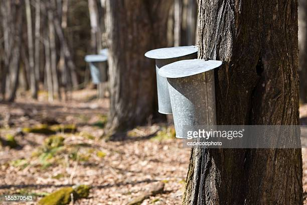 maple syrup time - maple tree stock pictures, royalty-free photos & images