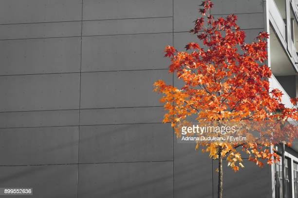 maple tree against orange sky - adriana duduleanu stock photos and pictures
