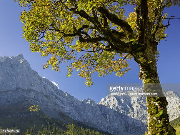 maple tree and karwendel ridge in autumn. - landschaft stock pictures, royalty-free photos & images