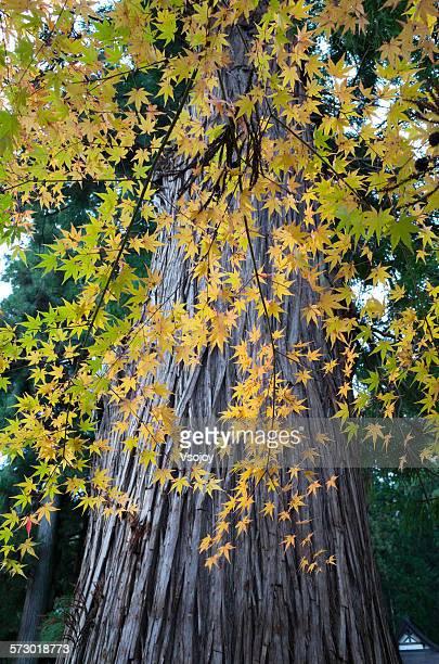 maple tree at shirakawa-go - vsojoy stock pictures, royalty-free photos & images
