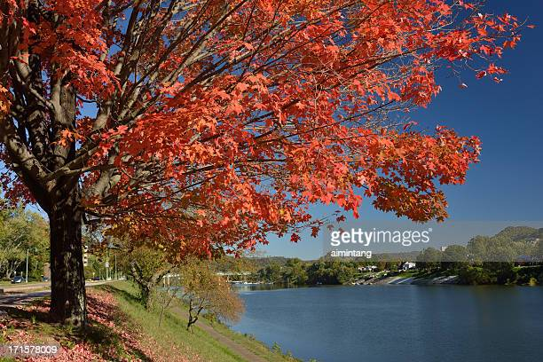 Maple Tree by River