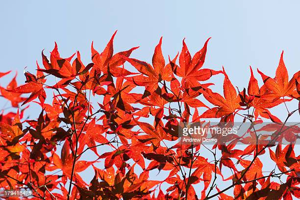 maple tree foliage - andrew dernie 個照片及圖片檔