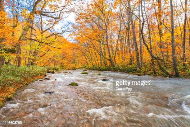 Maple Tree Forest and Oirase Stream in Autumn, Aomori, Japan
