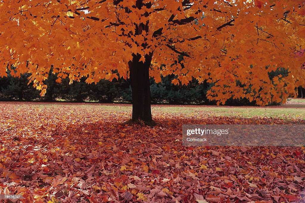 Maple tree in autumn : Stockfoto