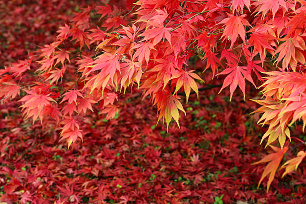 Maple Tree In Blaze Of Autumn Colour Wall Art