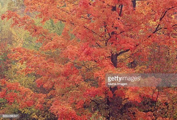 Maple tree in soft,autumn light