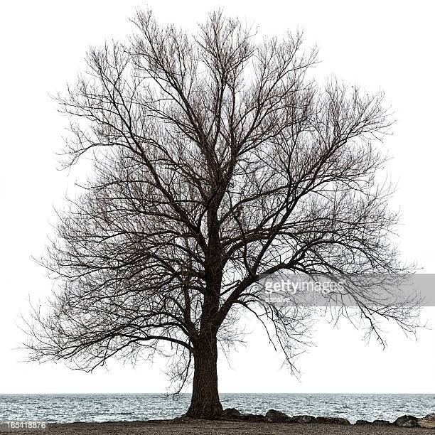 maple tree isolated on white - bare tree stock pictures, royalty-free photos & images