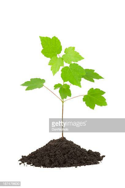 maple tree isolated - sapling stock photos and pictures