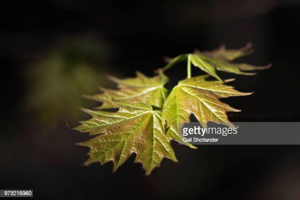Maple Tree New Growth