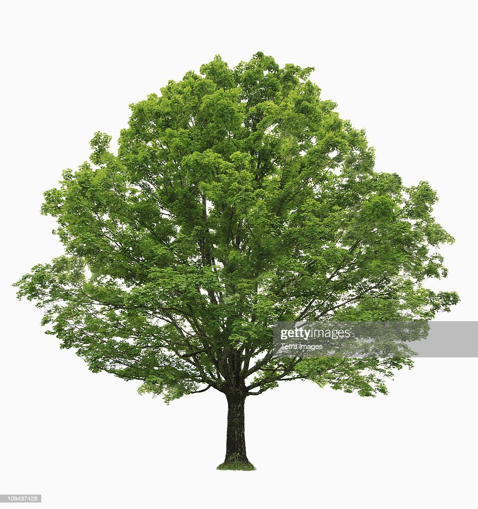 Maple tree on white background : Stock Photo