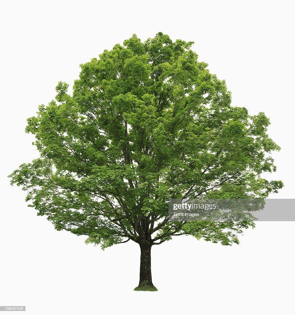 Maple tree on white background : Stock Photo