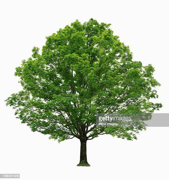 maple tree on white background - maple tree stock pictures, royalty-free photos & images