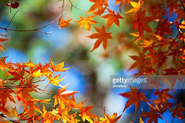 maple tree - november background stock photos and pictures