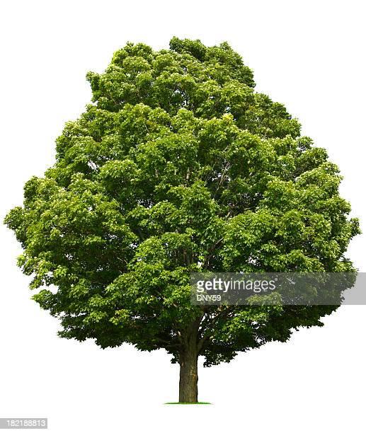 ahorn tree - laubbaum stock-fotos und bilder