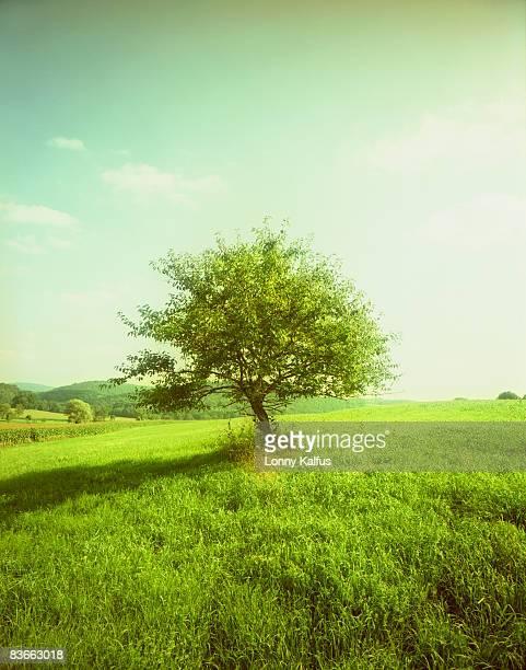 maple treee in field