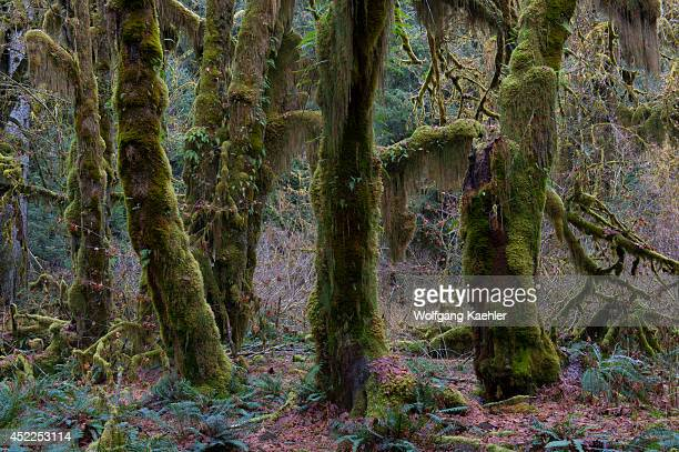 Maple trees covered with mosses in the Hoh River rainforest, Olympic National Park, Washington State, United States.