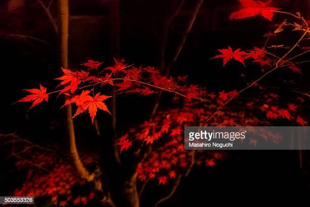 Maple trees illuminated at night