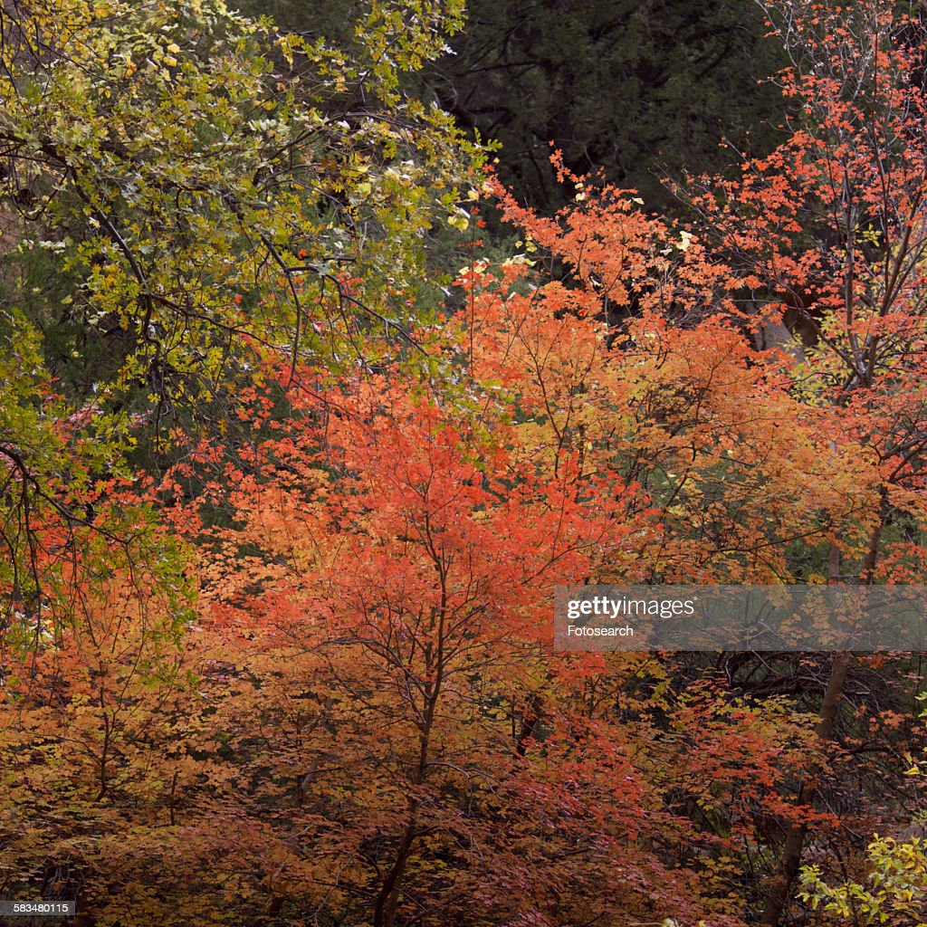 Maple trees in a forest : Stock Photo
