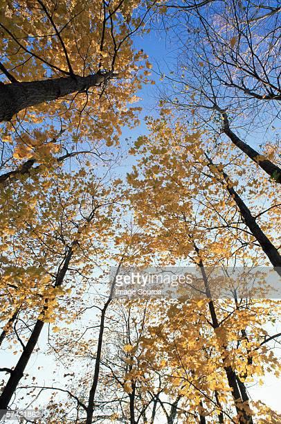 Maple trees in autumn