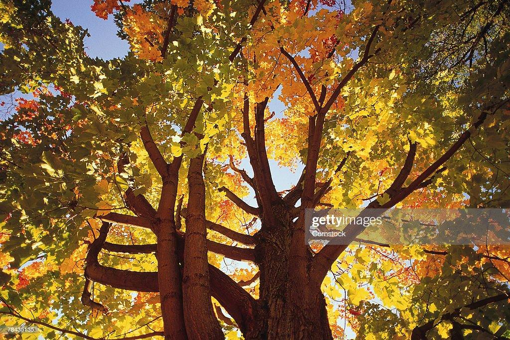Maple trees in autumn : Stockfoto