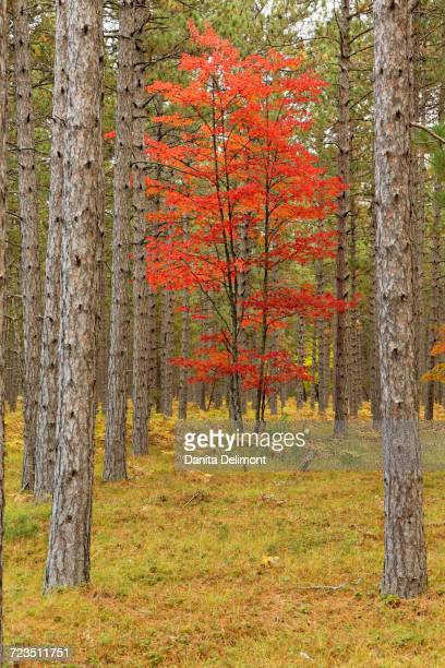 maple trees in fall colors, hiawatha national forest, upper peninsula of michigan, usa - hiawatha national forest stock pictures, royalty-free photos & images