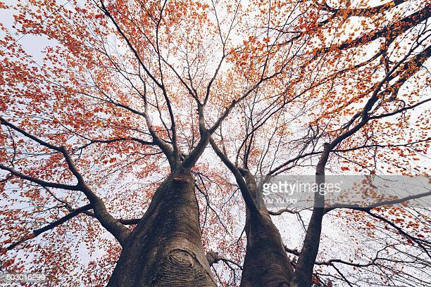 Maple trees in fall colour taken from underneath