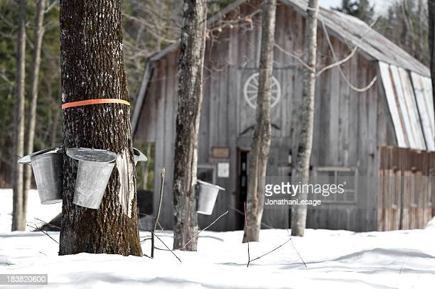 maple trees in spring, cabane a sucre - maple tree stock pictures, royalty-free photos & images