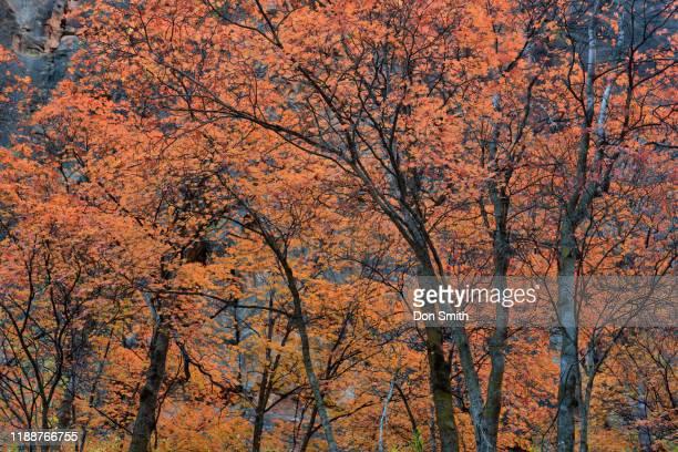 maple trees, zion canyon - don smith stockfoto's en -beelden