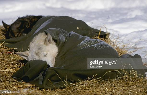 A sleeping dog lays down in straw and is wraped in a blanket during the Iditarod Trail Race in Talkotina Alaska Mandatory Credit Ezra O Shaw /Allsport