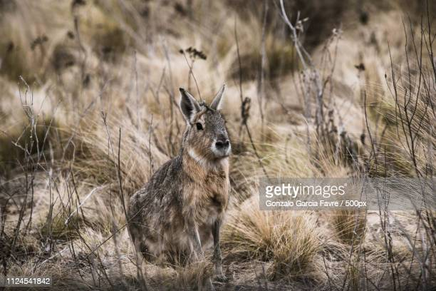 mara - white tail buck stock photos and pictures