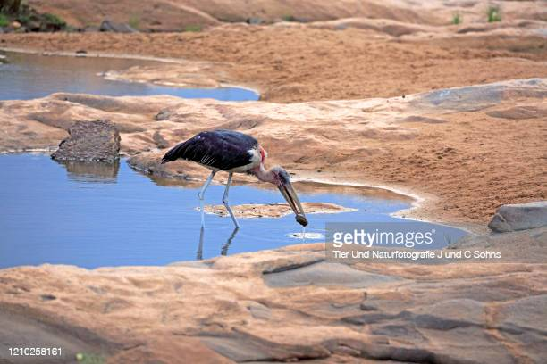 marabou stork, (leptoptilos crumeniferus), adult at water feeding, kruger nationalpark, south africa, africa - nationalpark stock pictures, royalty-free photos & images