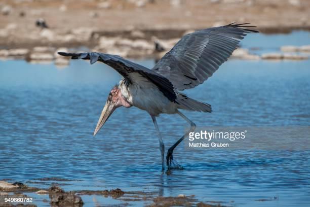 marabou stork (leptoptilos crumeniferus), at a waterhole, etosha national park, namibia - marabout photos et images de collection