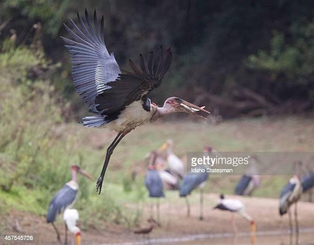 A Marabou stork at Gorongosa National Park