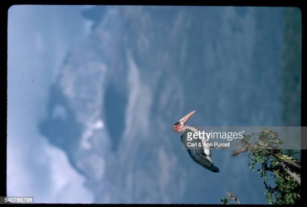 marabou stork in a tree - marabout photos et images de collection