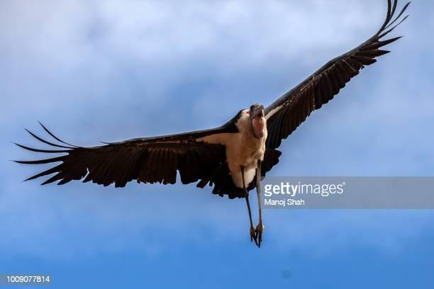marabou stork in flight - marabout photos et images de collection