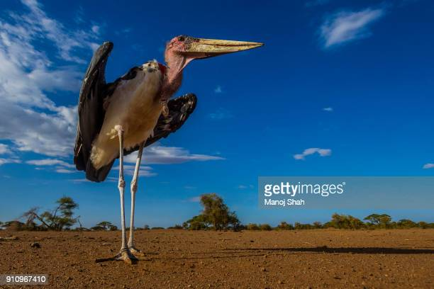 marabou stork in the early morning sun - marabout photos et images de collection