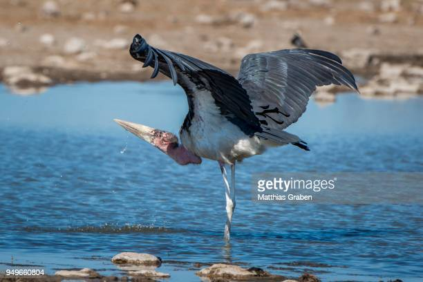marabou stork (leptoptilos crumeniferus), in the water at a waterhole, drinking, with spread wings, etosha national park, namibia - marabout photos et images de collection