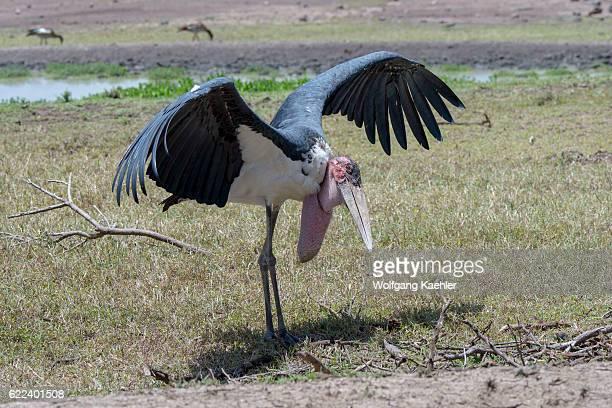 Marabou stork is spreading its wings to cool down in the Ol Pejeta Conservancy in Kenya.