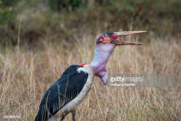 Marabou stork is swallowing a piece of a wildebeest killed by a spotted hyena in the Masai Mara National Reserve in Kenya.
