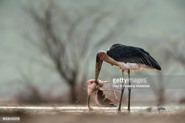 marabou stork killing lesser flamingo - marabout photos et images de collection