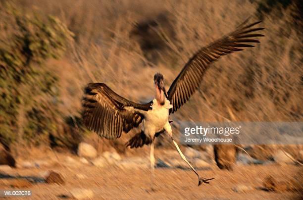 marabou stork landing - marabout photos et images de collection