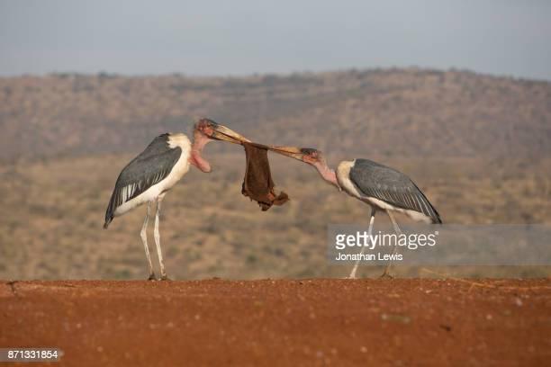 marabou stork, leptoptilos crumenifer, fighting over food - marabout photos et images de collection
