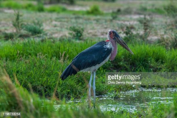 marabou stork (leptoptilos crumenifer). - marabout photos et images de collection