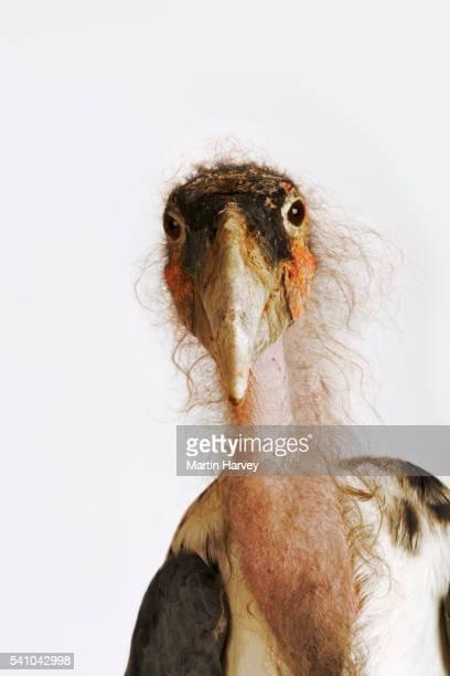 marabou stork - marabout photos et images de collection