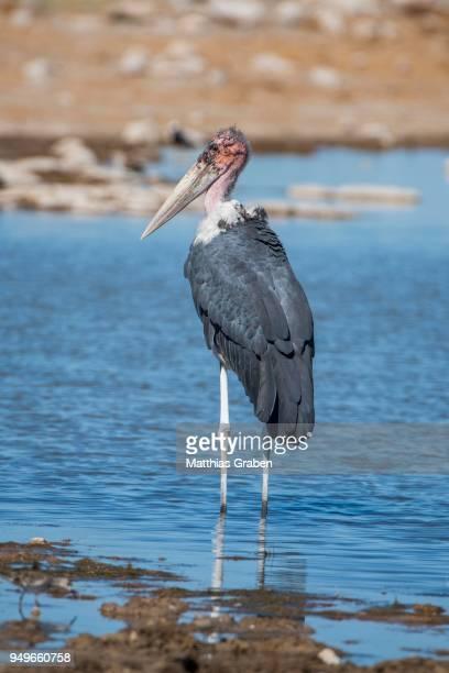 marabou stork (leptoptilos crumeniferus), stands in water at a waterhole, etosha national park, namibia - marabout photos et images de collection