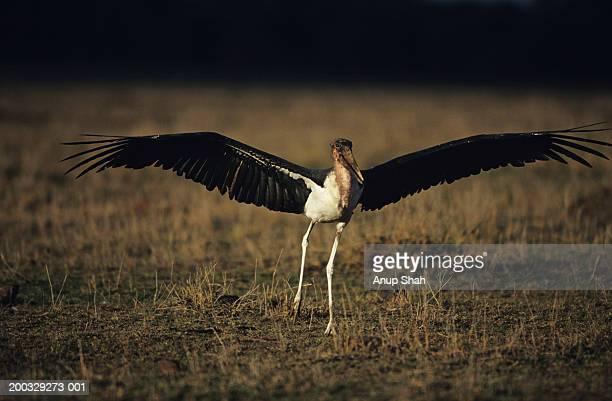 marabou stork (leptoptilos crumeniferus) taking off, masai mara national reserve, kenya - marabout photos et images de collection