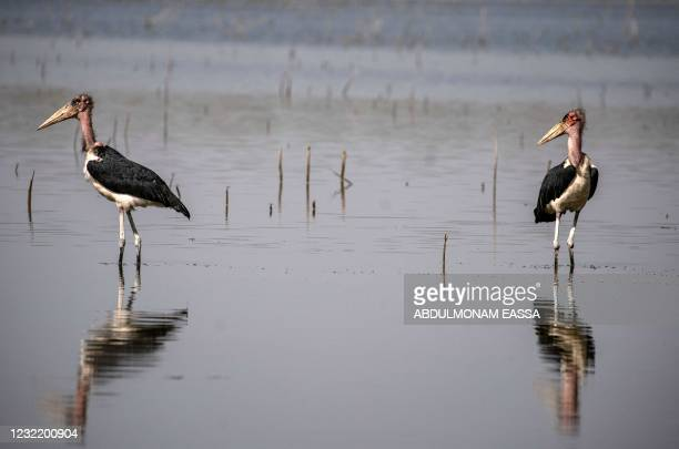 Marabou storks are pictured at the Dinder national reserve, a protected region some 480km from the capital Khartoum, in Sudan's southern Sennar...