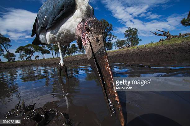 marabou storks feeding on catfish in a waterhole - marabout photos et images de collection